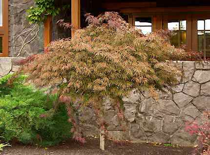 japanese maple tree. red japanese maple tree