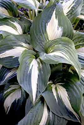 Night Before Christmas Hosta